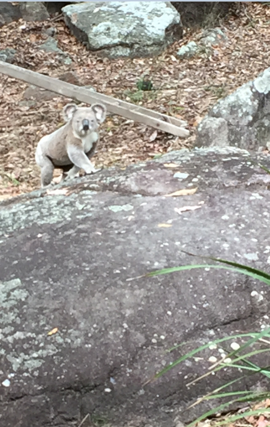 koala toohey forest august 2016
